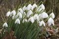 Galanthus nivalis - Snowdrops Stock Photography