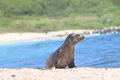 Galapagos baby sea lion close up in the wild beach master male Stock Photography