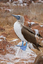 Galapagos blue-footed booby Royalty Free Stock Photography