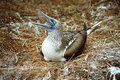 Galapagos Blue Footed Booby and eggs Royalty Free Stock Photos