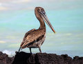 The galapagos brown pelican is a common resident of endemic subspecies urinator population estimated at a few thousand pairs and Royalty Free Stock Photos