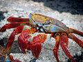 Galapagos cliff crabs seen on the bartolomeo island Royalty Free Stock Photos