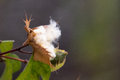 Galapagos cotton plant latin gossypium darwinii Royalty Free Stock Photography