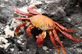 Galapagos crab at the island of baltra islands ecuador Stock Photo