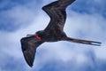 Galapagos Frigate Royalty Free Stock Image