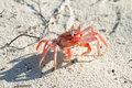 Galapagos ghost crabs Royalty Free Stock Photo