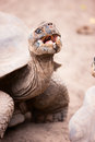 Galapagos giant tortoise close up of the Royalty Free Stock Photo