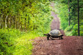 Galapagos giant tortoise crossing straight dirt road Royalty Free Stock Photo