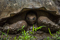 Galapagos Giant Tortoise With ...