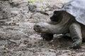 Galapagos Giant Tortoise Royalty Free Stock Photo