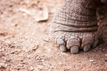 Galapagos giant tortoises foot close up of a tortoise Stock Photo