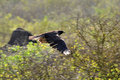 Galapagos Hawk in flight Stock Images