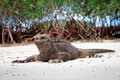 Galapagos iguana on the beach Royalty Free Stock Photo