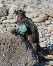 Galapagos iguana colorful warming up in the sun in the islands Stock Image
