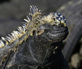 Galapagos Marine Iguana, Eucador Stock Photo