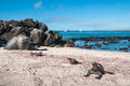 Galapagos marine iguanas on espanola island the beach with the sea and tourist yachts in the background Royalty Free Stock Photo