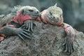 Galapagos Marine Iguanas Resti...