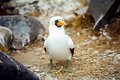Galapagos Masked Booby Royalty Free Stock Images