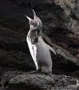 Galapagos Penguin calls out Royalty Free Stock Photo