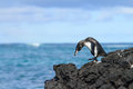 Galapagos penguin having fun walking on the rocks Stock Photo