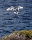 Galapagos red-billed tropic bird about to land Royalty Free Stock Photo