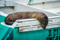 Galapagos sea lion asleep on green boat Stock Photography