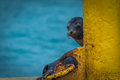 Galapagos sea lion peeping out behind post Royalty Free Stock Photos