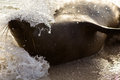 Galapagos sea lion playing a latin zalophus wollebaeki in a breaking wave Stock Images
