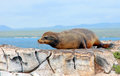 Galapagos sea lion single lying down on a rock on south plaza island in the Stock Photos