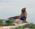Galapagos sea lion stretching on top of a shore cliff on south plaza island in the Stock Image