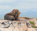 Galapagos sea lion in thinking position on south plaza island in the Royalty Free Stock Photography
