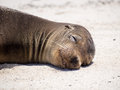Galapagos sea lion zalophus wollebaeki relaxing on the beach in the islands Stock Images