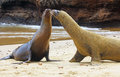 Galapagos sea lions kissing on the beach in the Royalty Free Stock Image