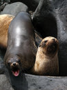 Galapagos sea lions rest Royalty Free Stock Photography
