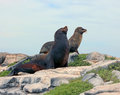 Galapagos sea lions two on top of shore cliff on south plaza island in the Stock Photo