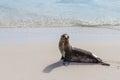 Galapagos Seal Royalty Free Stock Photo