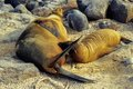 Galapagos Sealion Royalty Free Stock Image