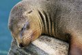 Galapagos-sealion Stock Image
