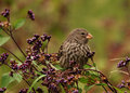 Galapagos Small Ground Finch Stock Image