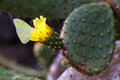 Galapagos Sulphur Butterfly on a cactus flower Royalty Free Stock Photo