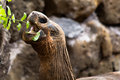 Galapagos tortoise eating a giant foliage Stock Image