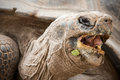 Galapagos Tortoise Head Close Up Low Angle Royalty Free Stock Photo