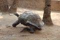 Galapagos Tortoise in rain Royalty Free Stock Photo