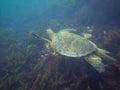The Galapagos Tortoise swimming Royalty Free Stock Photo