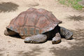 Galapagos turtle laying in hot sun Royalty Free Stock Photos
