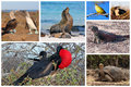Galapagos wildlife collage animals of the like sea lion blue footed boobies tortoise iguana and frigate birds made into a Royalty Free Stock Photography