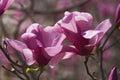 Galaxy hybrid magnolia flowers x between liliflora nigra and sprengeri diva Royalty Free Stock Photo