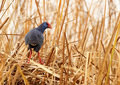 Gallinule Royalty Free Stock Photography