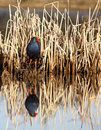 Gallinule Stock Image