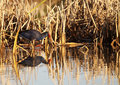 Gallinule Royalty Free Stock Images